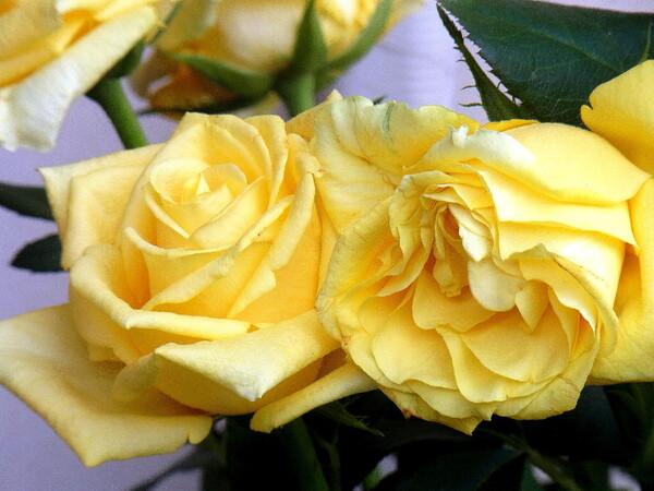 父の日の薔薇