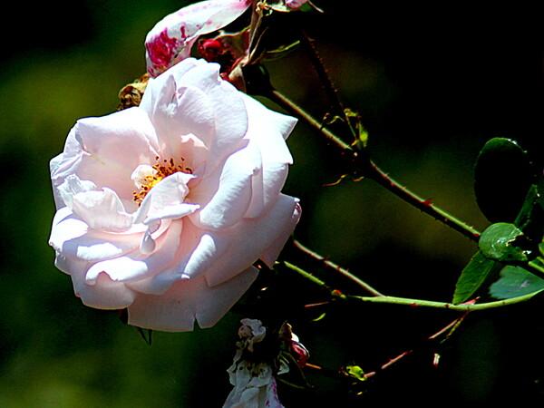 白いバラの花UP