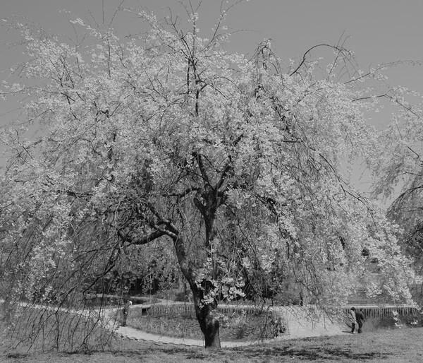 桜の【道】