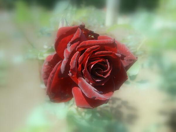 黒紅色のバラ