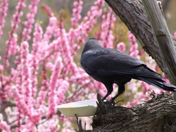 【花のある情景】カラスの梅見【春】