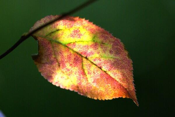 葉脈の中の秋