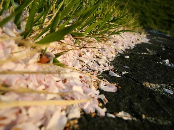 桜の季節の終わり・・・