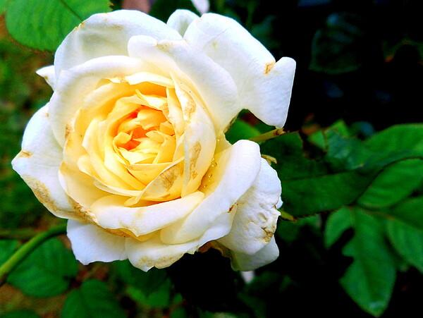 テスト5 白い花