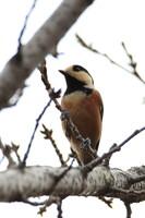野鳥ポートレート・ヤマガラ