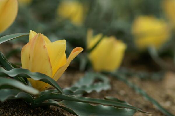 匍匐 地面から咲くチューリップ