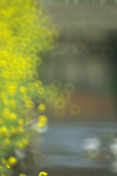 【緑】菜の花