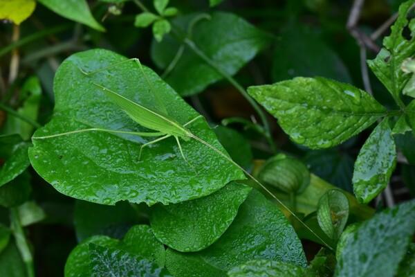 【変化】セスジツユムシ緑色型
