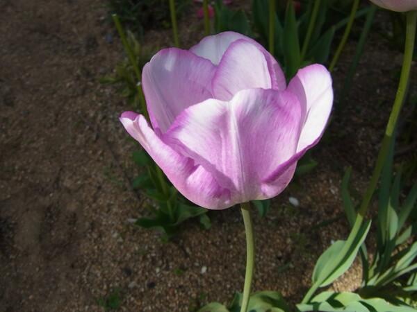 チューリップ 薄いピンク
