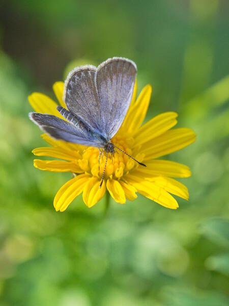 秋のシジミ蝶
