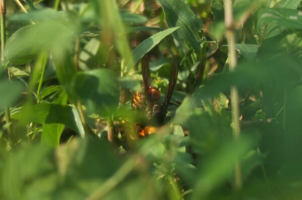 黄色大スズメバチの交尾?