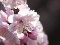 日本一遅咲きの梅?