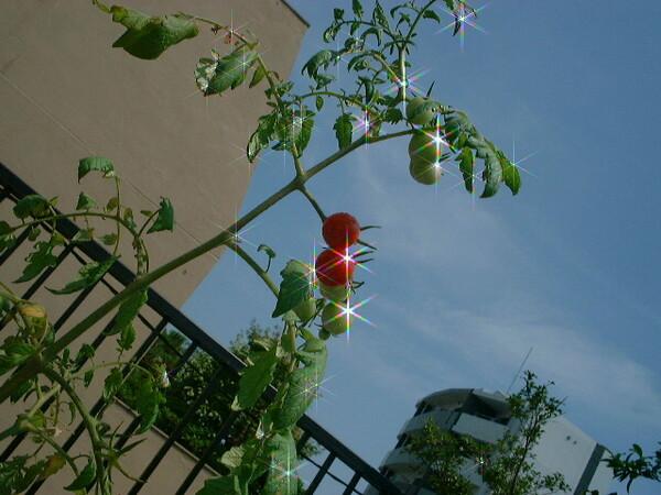 背の高いミニトマト