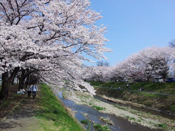 桜満開!(一昨日だけどね)