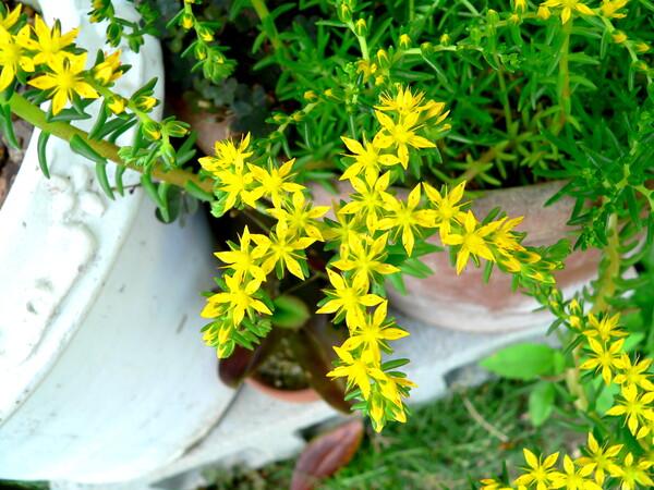 黄色な小さい花