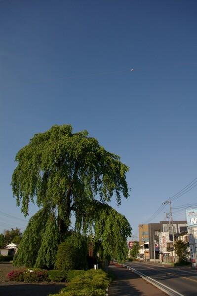 さんざん撮った枝垂桜