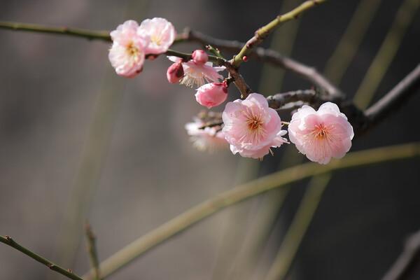 大阪城梅林の紅梅2