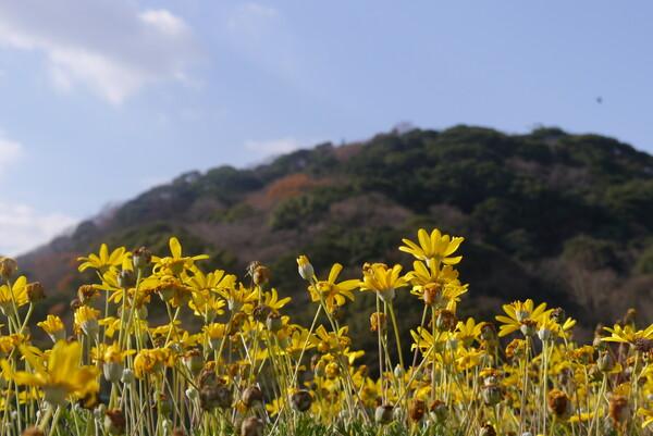 金比羅山をバックに黄色の花