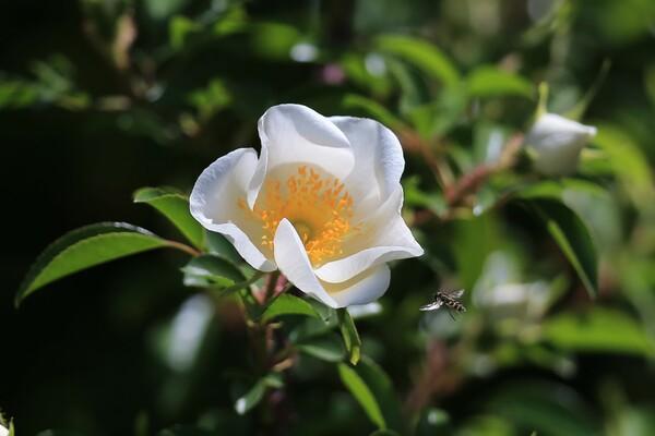 白バラに花アブ