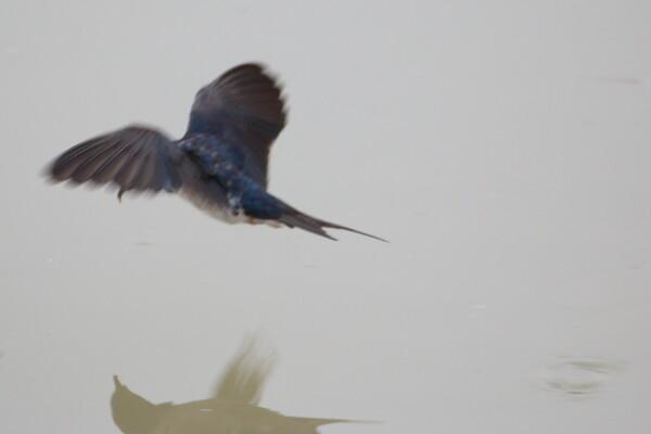 飛翔するチュンバメの撮影(その2)