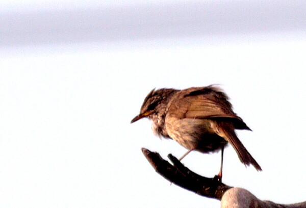 声の鳥【横顔】