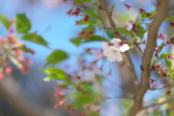 桜もおわりです