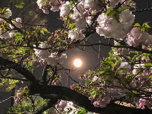 スーパームーンと八重桜