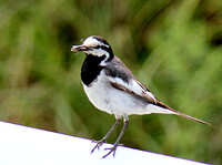 ハクセキレイの幼鳥 2