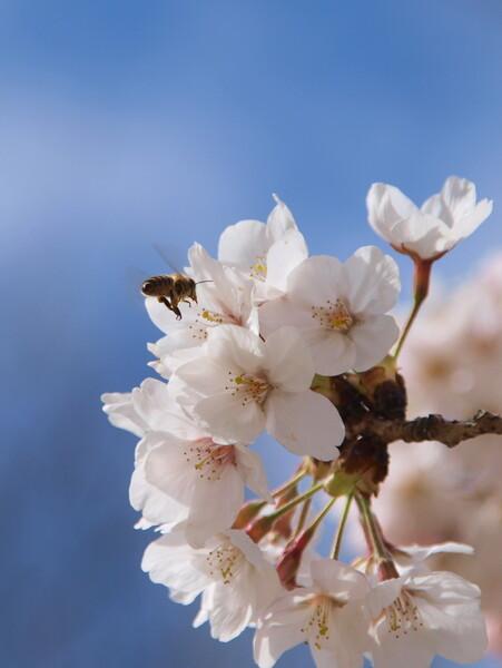 【桜】花とみつばち