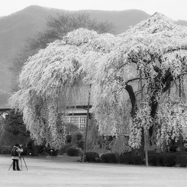 【スクエア】白黒桜