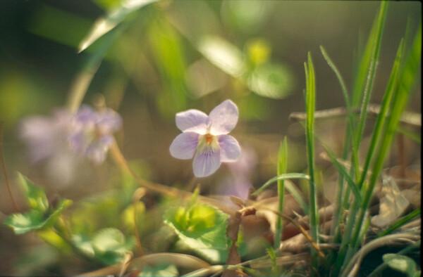 サクラ人気に嫉妬する花