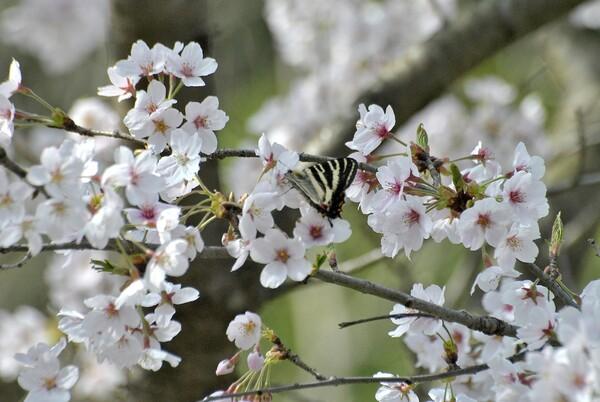 桜花の蜜が美味しい
