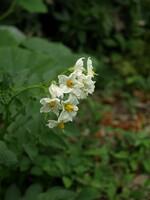 ジャガイモの花^^;
