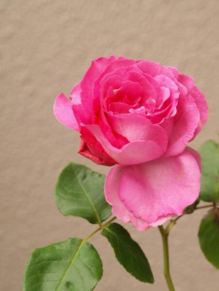 【清和】たったひとつ咲いたバラ