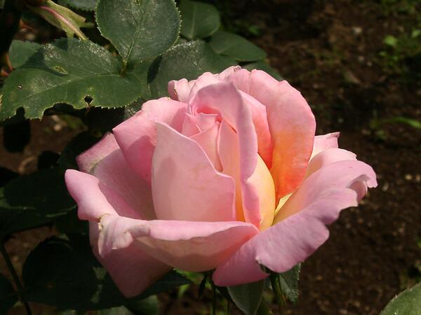 ★09春バラ・セレクション-75