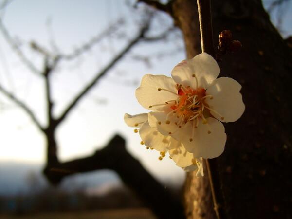 夕日に透ける咲き初めの