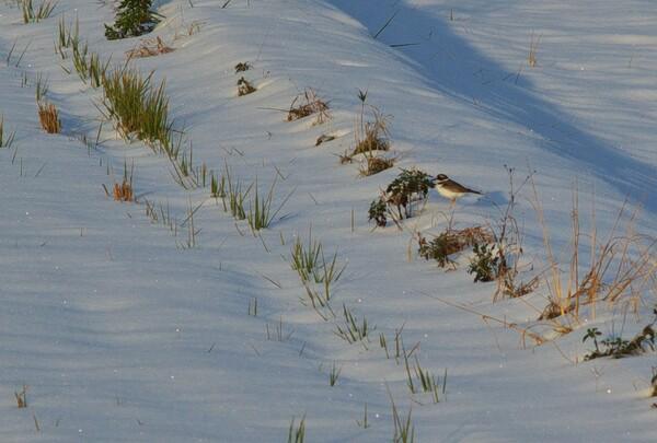 シロチドリが雪の解けかかった田んぼに!