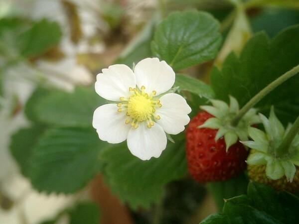 ワイルドストロベリー 花 と 苺