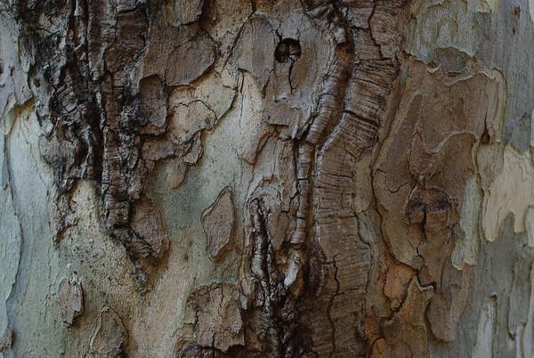 プラタナスの幹