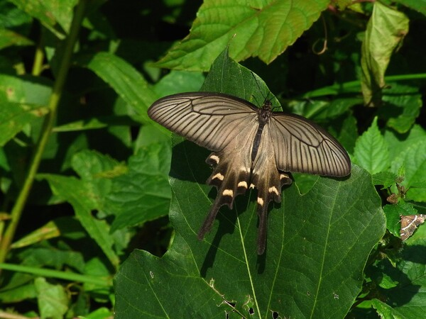 ジャコウアゲハの雌