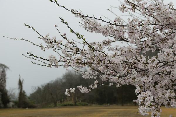 ソメイヨシノ開花。