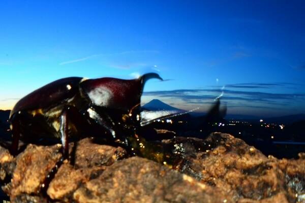 富士山と兜虫