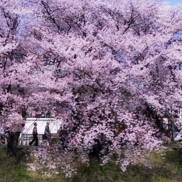 【スクエア】 桜散策
