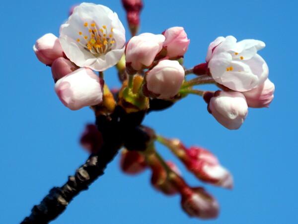 【桜花】 枝先のUP