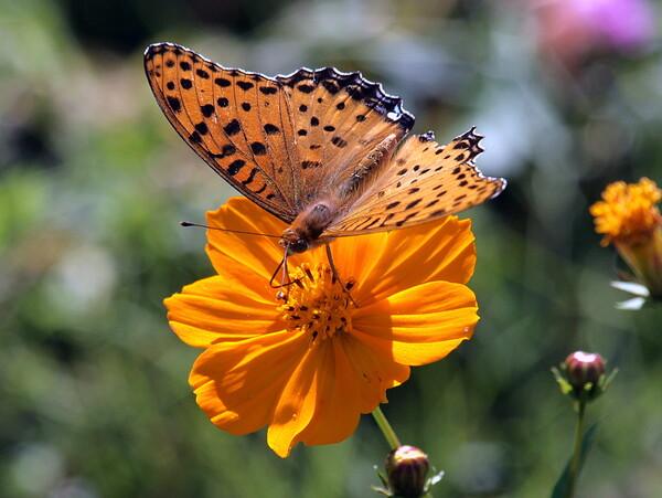 古いカメラで蝶を撮りました。 3