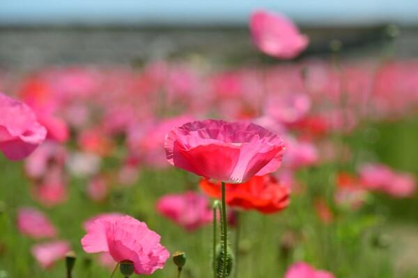 花の海のポピー畑