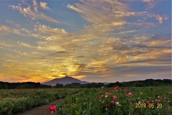 【花・空のある写真】ポピー畑