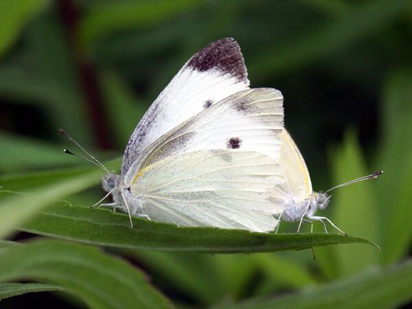今年初めて撮ったモンシロ蝶のカップルです