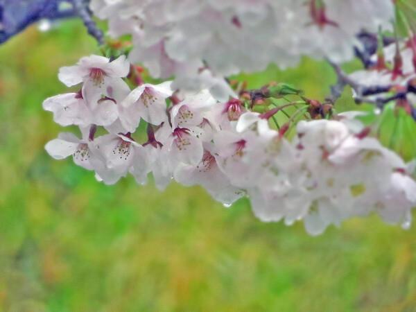 【淡彩】雨の日のサクラ