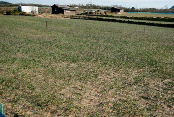 細川地区のラッキョウ畑。